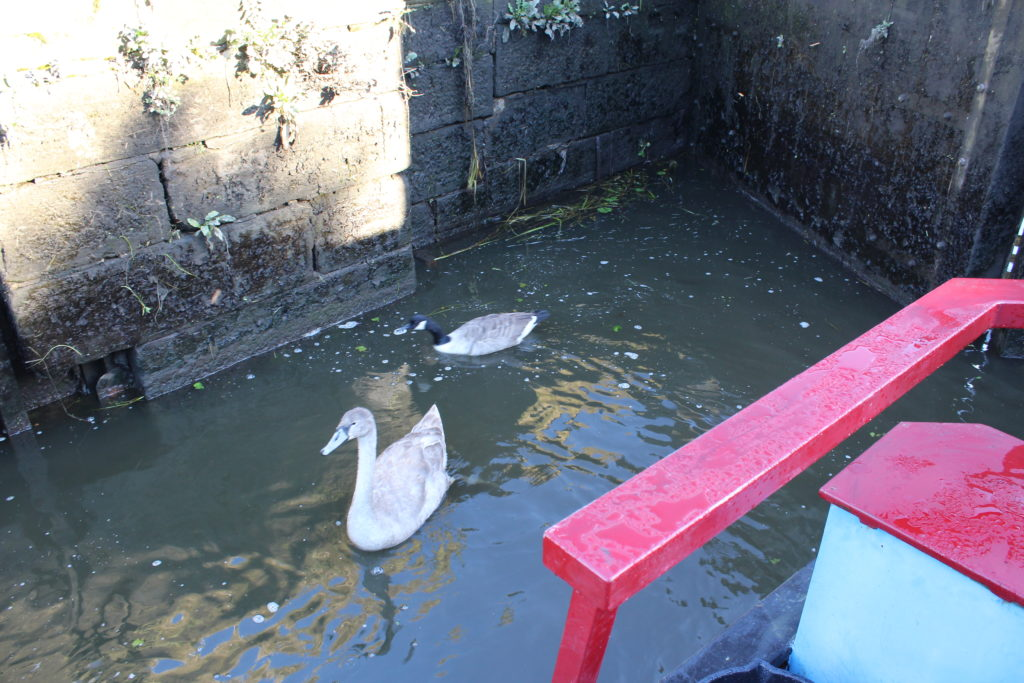 Cygnet and Goose at Chicken Lock
